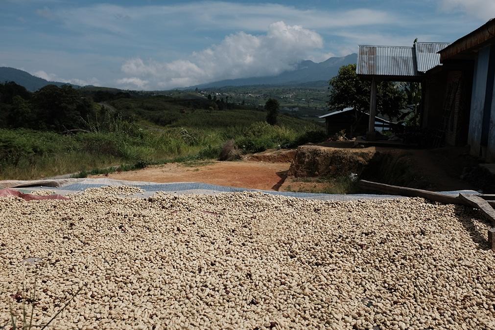 Proses penjemuran gabah kopi di depan rumah Rajo Endah.